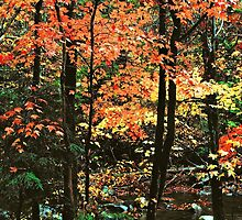 MAPLES AUTUMN,TREMONT by Chuck Wickham