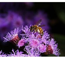 Busy Australian Bee Collecting Pollen Photographic Print