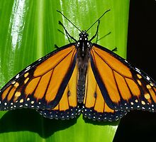 Monarch In Australia by Margaret Saheed