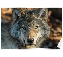 Timber Wolf - Looking at you. Poster