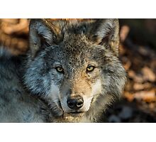 Timber Wolf - Looking at you. Photographic Print