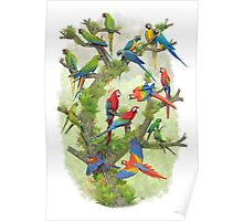 Macaws in the genus Ara Poster