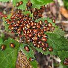 Ladybugs cluster on bramble leaves by David Chesluk