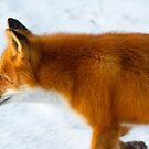 Red Fox in the Arctic by Martin Smart