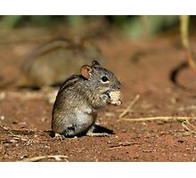 Striped Grass Mouse Photographic Print