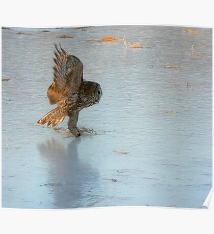 Touch down ~ The Great Grey Owl Poster