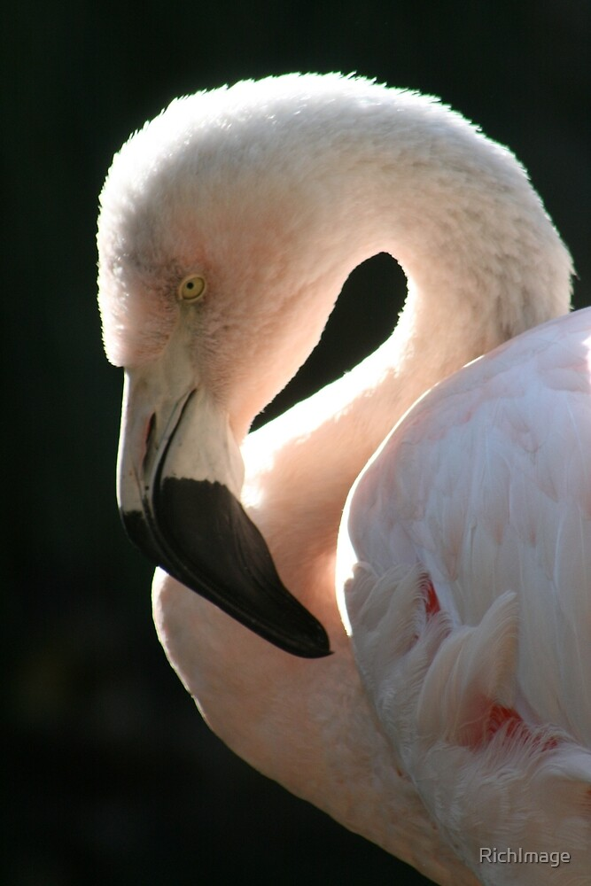 Flamingo in the Sun by RichImage