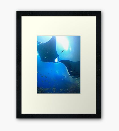 A pair of rays (manta rays) Framed Print