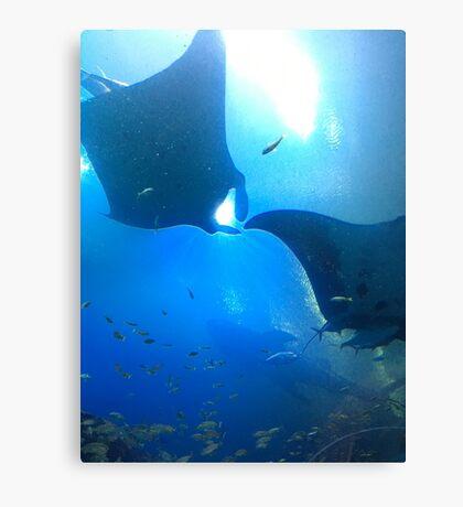 A pair of rays (manta rays) Canvas Print