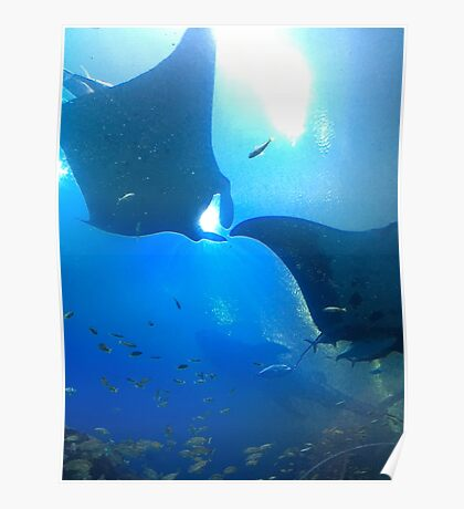 A pair of rays (manta rays) Poster