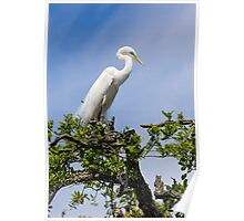 Great Egret Atop Tree Poster