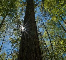 Sunstars in the Forest by Kelvin  Taylor