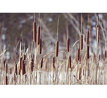 winter reeds Photographic Print