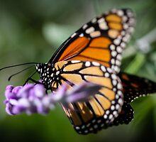 Monarch Danaus Plexippus by Henrik Lehnerer