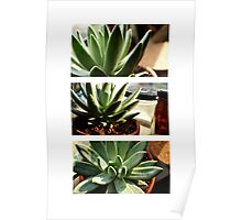 Echeveria Hookeri - Succulent in the Afternoon Poster