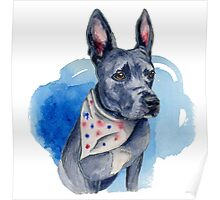 Blue Pit Bull Dog Watercolor Painting Poster