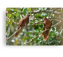 Brown Cuckoo-doves Canvas Print