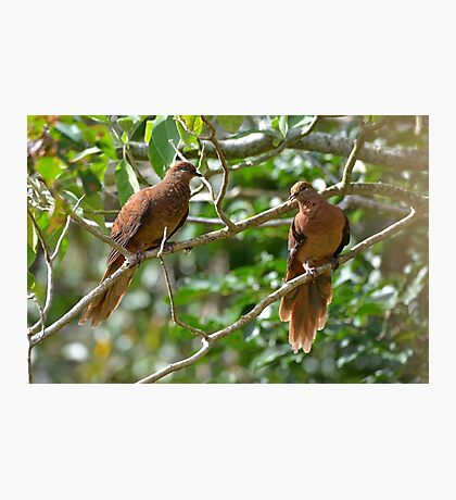 Brown Cuckoo-doves Photographic Print
