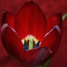 Tulip Dressed in Red by AnnDixon