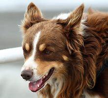Tricolour Collie by GreyFeatherPhot