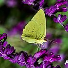 Yellow Butterfly on Purple Flower by TJ Baccari Photography