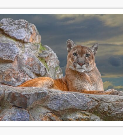 Serbia. Belgrade. Zoo. Puma. (I have my eyes on you). Sticker