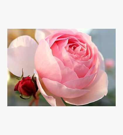 Beautiful Pink Cabbage Rose Photographic Print