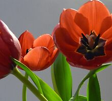 Red tulips by Sally Kate Yeoman