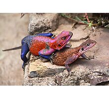East African Rainbow Agama Lizards Mating Photographic Print