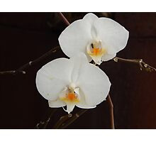 two white orchids  Photographic Print