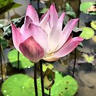 The Delicacy of a Water-lily by Larry Lingard-Davis