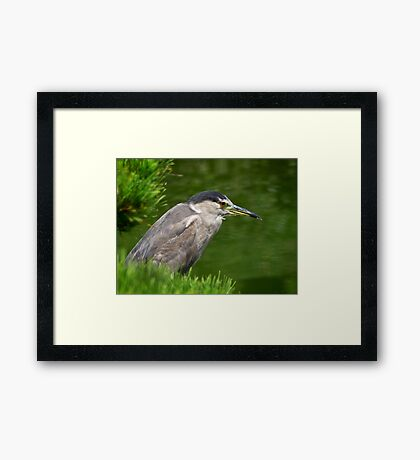 Heron watching for fish Framed Print