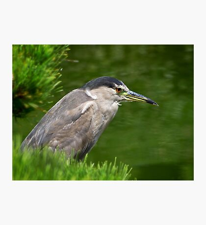 Heron watching for fish Photographic Print