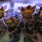 Monarda Citriodora by Astrid Ewing Photography