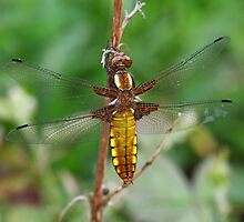 Female Broad-bodied Chaser by John Keates