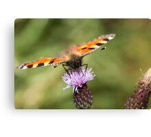 Small Tortoiseshell butterfly feeding Canvas Print