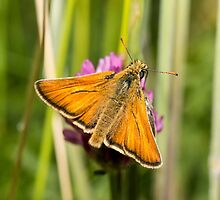 Small Skipper Butterfly by Ashley Beolens
