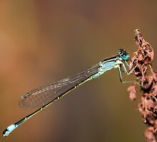 Common Blue of Brown by Ashley Beolens