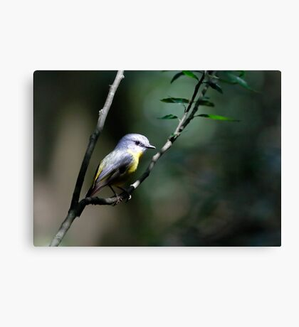 Eastern Yellow Robin Canvas Print