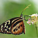 Longwing Butterfly by John Keates