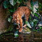 The tiger by Gerard Rotse