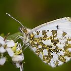 Orange Tip by Ashley Beolens
