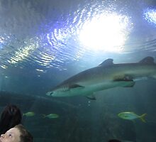 Black tip Reef Shark by fixitsally