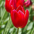Red Tulips by lezvee