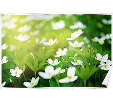 Nature background with little white flowers  Poster