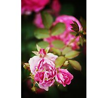 Nature background with rose flower Photographic Print
