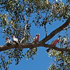 You're a Galah!!  by Margaret Stanton