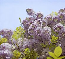 Lavender Wisteria with Apple Green Leaves  by BrookeRyanPhoto