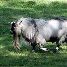 Ya Old Goat by © Loree McComb