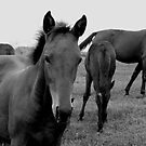 Horses black and white photography by Vitaliy Gonikman